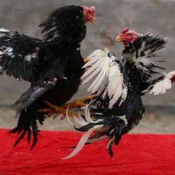 Laga Ayam Jago Taji Online Uang Asli