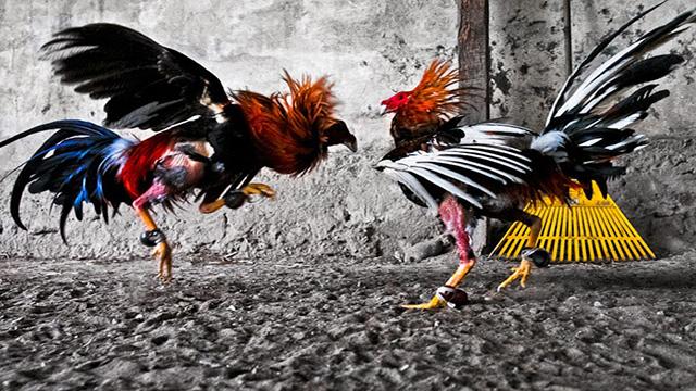 Agen Adu Ayam S128 Terbesar