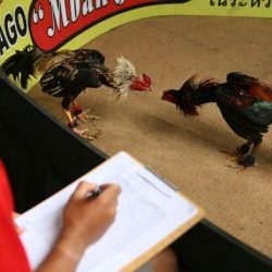 Cara Main Judi Sabung Ayam Online S128